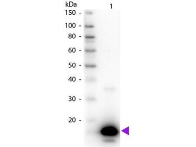 anti-Avidin (AVD) antibody