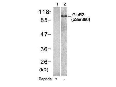 Glutamate receptor 2 (Precursor)(phospho-Ser880) antibody