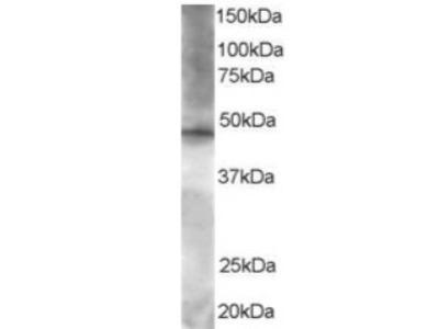 BRF2 antibody