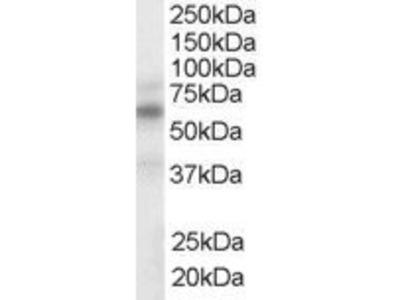 NR1H3; NR1H2 antibody
