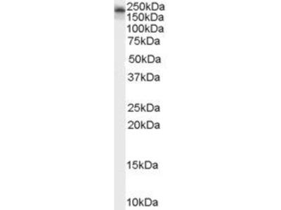 KALRN antibody