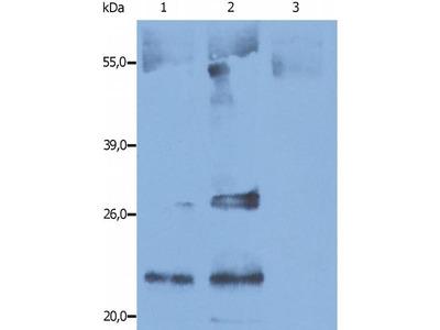 anti-CD9 antibody