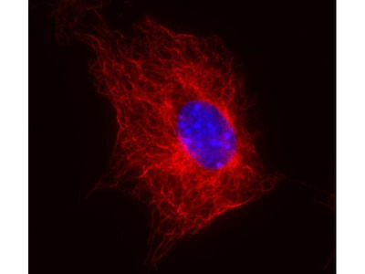 anti-TUBB (betaTub56D) antibody