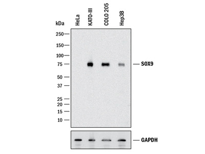 Detect Sox9 In Mouse Embryonic Stem Cells