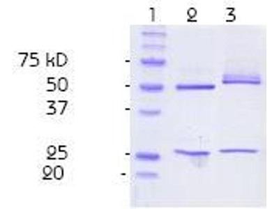 anti-Nitrotyrosine antibody