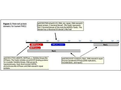 anti-PMS2 antibody