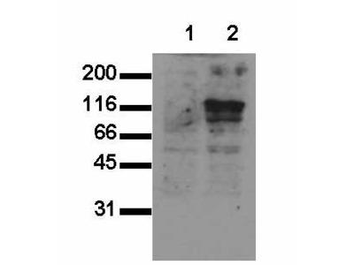 anti-Cdh15 antibody