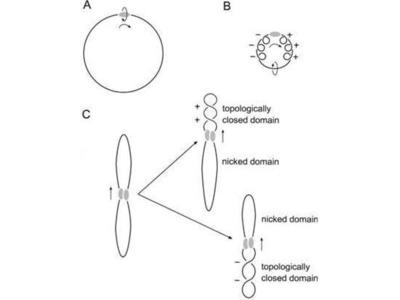 anti-ATRX antibody