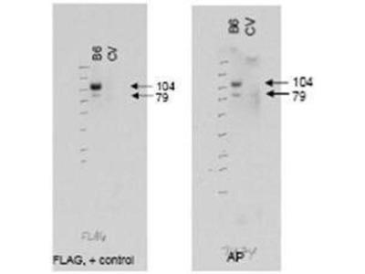 anti-ATG9A (ABCB6) antibody