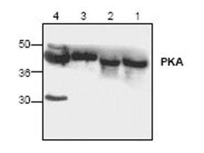 Anti-PKA C alpha antibody