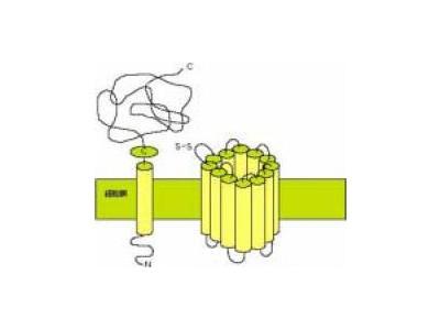 anti-4F2 Heavy Chain (4F2hc:CD98) antibody