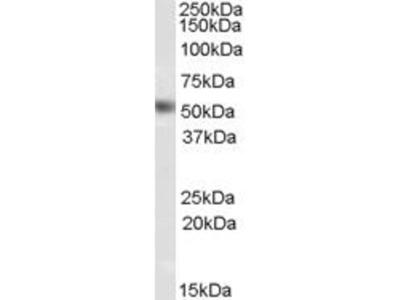 anti-Nuclear Receptor Subfamily 0, Group B, Member 1 (NR0B1) (Internal Region) antibody