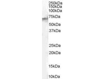 anti-STAM2 (SLBP) antibody
