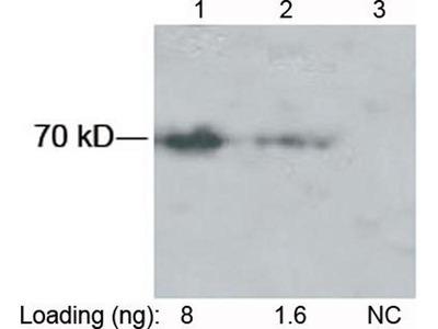 anti-SUMO Tag antibody