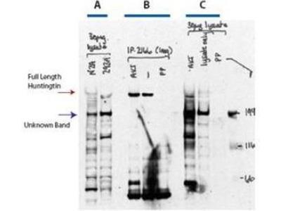 anti-HTT (Huntingtin) antibody