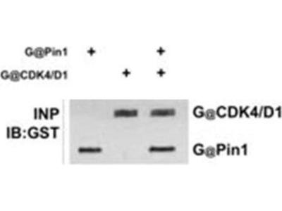 anti-PIN1 (pin1-a) antibody