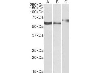 anti-P2RX4 antibody