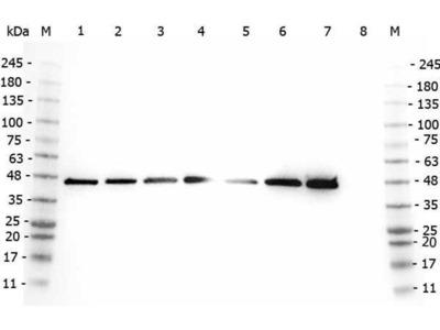 anti-AHA1, Activator of Heat Shock 90kDa Protein ATPase Homolog 1 (Yeast) (AHSA1) (Internal Region) antibody