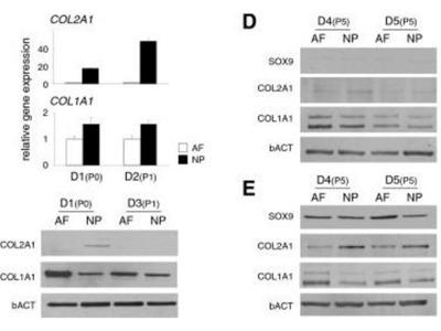 anti-Collagen, Type II (COL2) antibody