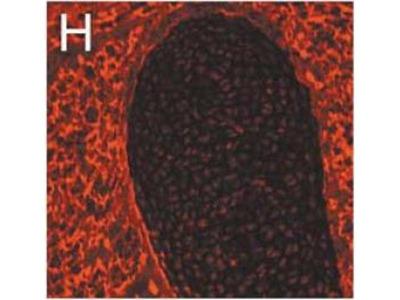 anti-Nidogen 1 (NID1) antibody
