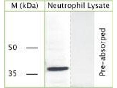 anti-GAPDH antibody