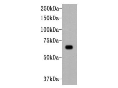 anti-Alkaline Phosphatase (PLAP-1/PLAP-Like) antibody