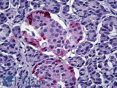 anti-PPY (Pancreatic Polypeptide) antibody