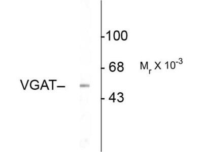 anti-VGAT (SLC32A1) antibody