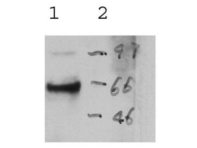 anti-PRF1 antibody