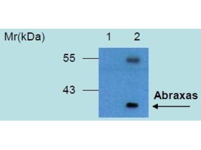 anti-CCDC98 (FAM175A) antibody