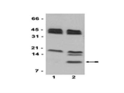 Anti-Histone H4 (citrulline 3) Antibody