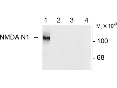 anti-NMDA Receptor, NR1 Subunit (Splice Variant N1) antibody