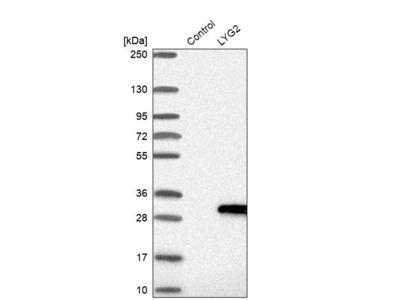 Anti-LYG2 Antibody