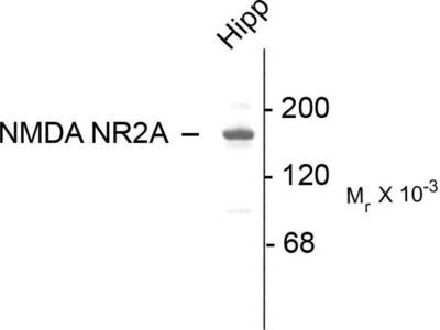 anti-NMDA Receptor, NR2A Subunit antibody