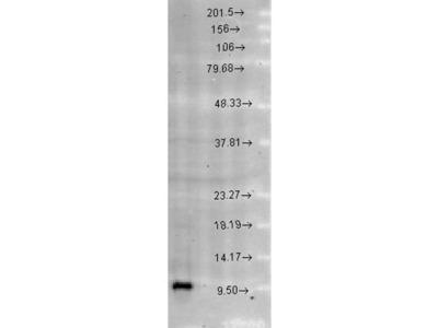 anti-Heat Shock 10kDa Protein 1 (Chaperonin 10) (HSPE1) (AA 91-101) antibody