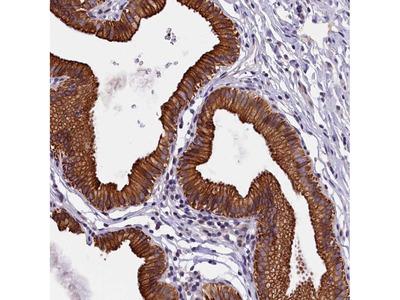 Anti-NXNL1 Antibody