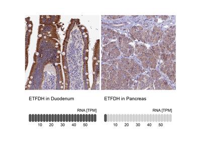 Anti-ETFDH Antibody