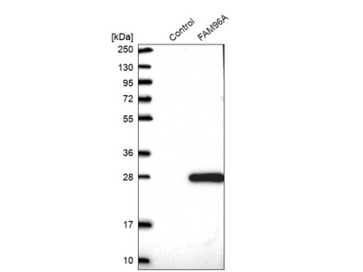 Anti-FAM96A Antibody