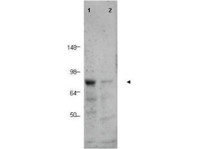 anti-CTCFL antibody