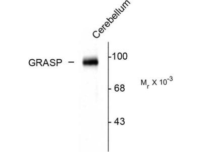 anti-grip1 associated protein 1 Antibody