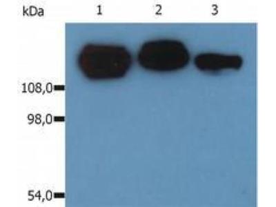 Mouse Monoclonal Integrin beta 1 / CD29 Antibody