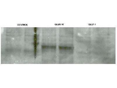 Rabbit Polyclonal GLUT10 Antibody