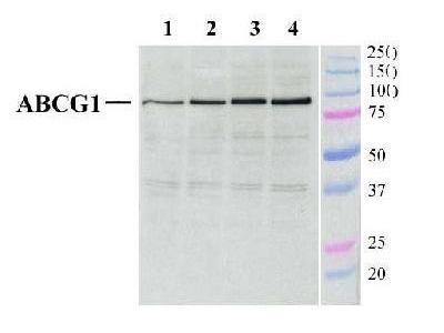 ABCG1 Antibody