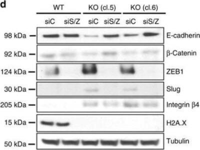 Rabbit Polyclonal Histone H2AX Antibody