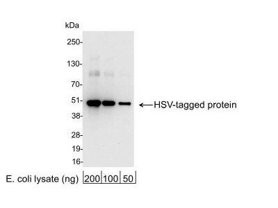 Goat Polyclonal HSV Tag Antibody