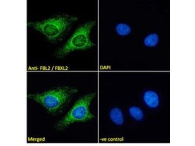 FBXL2 Antibody