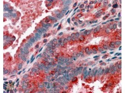 Goat Polyclonal ACTR1B Antibody