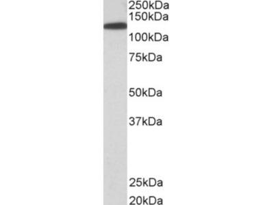 Goat Polyclonal Kinesin 5B Antibody
