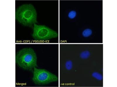 COP Antibody