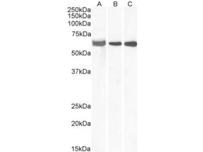 E74 like factor 1 Antibody